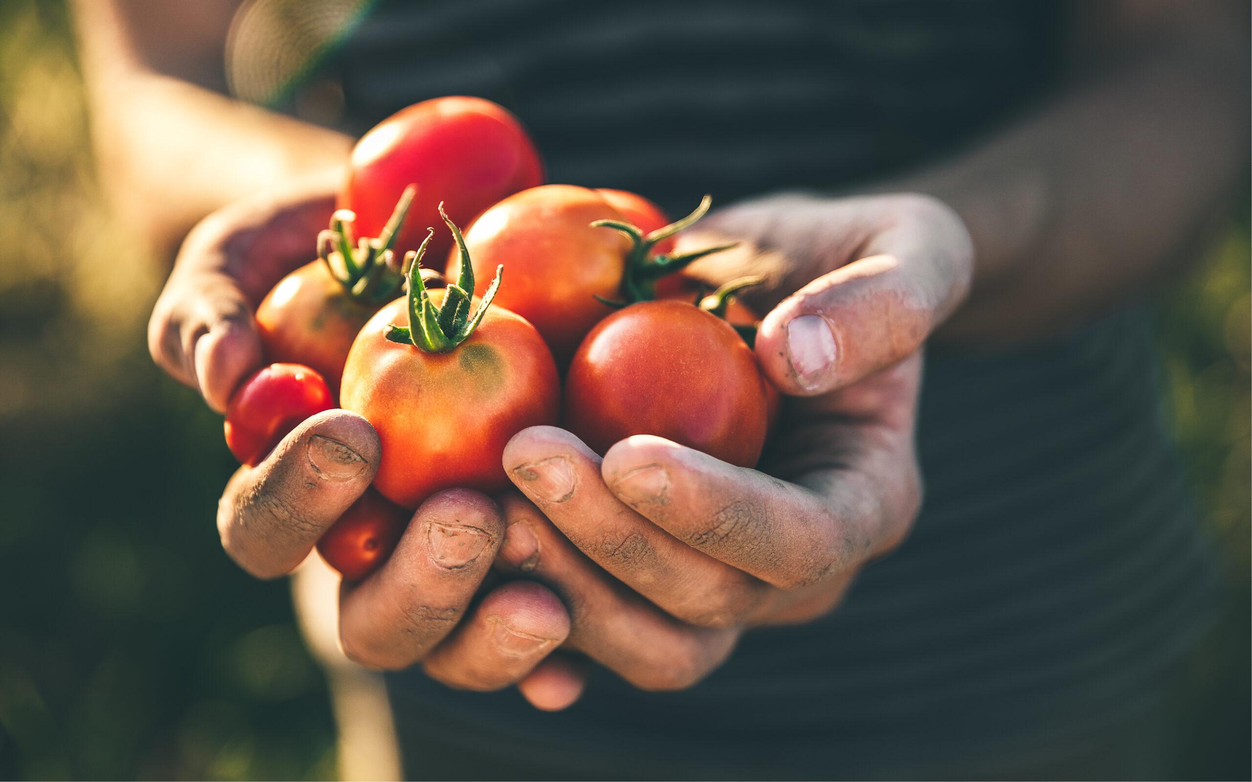 Høsting av tomater